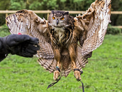 Eurasian Eagle-Owl - (Explored) (Dave_O1 (hates the new look)) Tags: bird canon giant fly flying inflight big wings eagle bokeh explorer flight feather large explore owl predator eurasian swoop birdofprey lavenham falconry bubobubo eagleowl swooping explored eurasianowl canoneos7d ef70200mmf28lisiiusm vigilantphotographersunite vpu2 vpu3 vpu4 vpu5 vpu6 vpu7