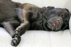 Millie our Chocolate Labrador settled and out for the count on the Sofa at Home in Frinton on Sea (1218) Tuesday 16th October 2012 (Colin.P.Brooks Railway Photography & Frinton) Tags: life dog dogs its relax labrador chocolatelab mille itsadogslife