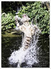 White Bengal Tiger - Singapore (Jas Mahal) Tags: nature animal cat nikon singapore tiger bigcat adobe whitetiger topaz lightroom adjust cs5 nikon70200mmf28 nikond3 ronin237