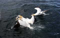 Pescatori (Wrinzo) Tags: ocean fish bird fishing nord seabird gannet oceano pesce sula atlantico morusbassanus pescare shetlandislands sulabassana shtland uccellomarino isoleshetland