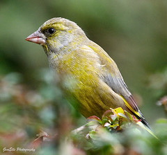 Greenfinch 3 [Explored] (GemElle Photography) Tags: green bird nikon feathers greenfinch gemelle d3100 gemelle1
