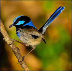Superb Fairy Wren. (co2friendly) Tags: nature australia nsw wren fairywren superbfairywren nikond800
