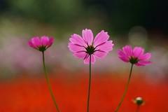 コスモス (秋桜) /Cosmos bipinnatus (nobuflickr) Tags: flower nature japan kyoto cosmos コスモス naturesfinest 秋桜 cosmosbipinnatus thekyotobotanicalgarden キク科コスモス属 20121015dsc06316