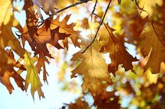 Autumn Magic I (Tinina67) Tags: autumn trees light sun france fall leaves forest golden leaf october colours bokeh magic herbst tags foliage tina blatt baum odc ourdailychallenge tinina67