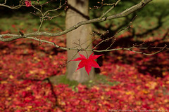 Solitary red Maple leaf remaining on a branch above the ground covered in fallen leaves (WhitcombeRD) Tags: park wood autumn light red sky terrain orange brown sun sunlight plant abstract color tree green fall nature beautiful beauty field grass leaves rural forest garden season landscape outdoors one golden countryside leaf maple healthy oak woods scenery colorful warm view natural bright outdoor vibrant grow sunny ground scene fresh foliage westonbirt acer single mapleleaf land backgrounds romantic environment shape solitary acerpalmatum scenics yellowleaves japaneseacer landbased