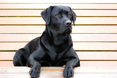 just Lotte - Black Labrador Retriever Lotte