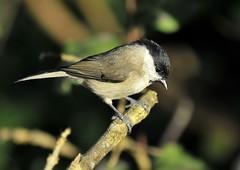 Marsh tit (jd.echenard) Tags: bird aves oiseau passeriformes marshtit seeland chordata paridae ipsach sumpfmeise msangenonette cinciabigia carboneropalustre