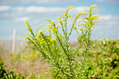 On the dunes, Fort Macon (jnellie1215) Tags: beach nature outdoors nikon d90 flowerscolors fantasticflower flowerpicturesnolimits yourphototips