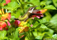 Ruby-throated Hummingbird Male / Lantana - Bayou Courtableau, Louisiana (Image Hunter 1) Tags: pink red orange plant flower color male green feet nature leaves birds yellow flying leaf wings louisiana branch hummingbird feeding branches tail flight beak lavender bayou swamp bloom greenery iridescent marsh lantana wingspan hovering hover rubythroatedhummingbird wingspread canoneos7d birdslouisiana bayoucourtableau