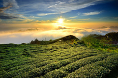 Sunset at tea field  (Vincent_Ting) Tags: sunset sky clouds taiwan  formosa  jiayi   seaofclouds alisan    teafield