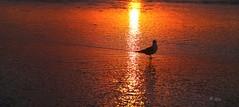 The first sunset of 2013 (#3) [Explored] (Iga Supernak) Tags: ocean california new light sunset orange usa sun sunlight color reflection bird beach nature water canon sand waves unitedstates sandiego walk year ngc january explore southerncalifornia optimism happynewyear explored canoneos5dmarkiii newyear2013 igasupernak