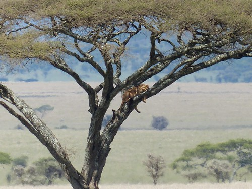 Lion in an acacia tree, Serengeti