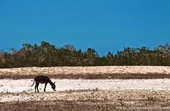 Jericoacoara XVI (Adriano Aquino) Tags: ass praia beach nature animal sand jericoacoara areia natureza playa burro asno jumento farmanimal jeri jijoca brasilemimagens adrianoaquino