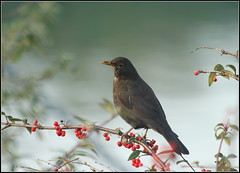 Blackbird in the berries (catb -) Tags: ireland howth dublin bird explore turdusmerula blackbird fa birdwatchfb