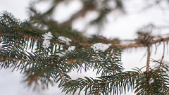 Fall on me and rest (asrai) Tags: wood trees winter snow pine flora unitedstates michigan january needles whitecloud 2013