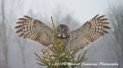 Great Gray Owl (Michael Cummings) Tags: brown ontario canada nature birds animals wildlife ottawa greatgrayowl wildlifephotographer birdpics naturephotography animalphotography wildlifephotography naturepics birdpictures animalpics animalphotograph naturephotograph michaelcummings wildlifepics wildlifephotograph blackbirdphotography greatgrayowlpictures greatgrayowlpics greatgrayowlphotography