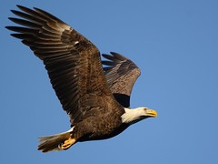 """He Hooks and Carries then Feasts! ""  Bald Eagle (Christine Fusco ~ ""Jersey Strong"") Tags: blue sky nature flight baldeagle maryland american be conowingo specanimal"