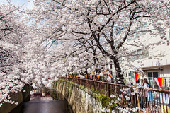 .... Meguro River / Tokyo, Japan (yameme) Tags: travel flowers nature japan canon eos tokyo  sakura shinagawa cherryblossoms    meguro    24105mmlis  5dmarkii 5d2