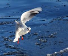 Skrattmås över genomskinlig is (Halloj världen! /Inger) Tags: sea ice nature water birds genomskinlig fotosondag fs130203
