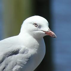 I'm Thinking (Gillian Everett) Tags: bird seagull australia waterbird queensland birdlife hiltonesplanade