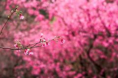 Contrast  (olvwu | ) Tags: pink mountain flower tree fruit cherry spring bokeh taiwan cherryblossom sakura bud  taichi prunus       rosaceae jungpangwu oliverwu oliverjpwu taiwancherry prunuscampanulata  tucheng    olvwu jungpang  newtaipeicity tuchengdistrict taichiridge