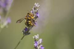 _MG_1821_1 (Arthur Pontes) Tags: flower green primavera nature field insect spring natureza flor deep bee abelha mosquito inseto campo deepoffield lavanda plem