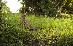 Natural Zafiro. (E S M Photography) Tags: zafiro al natural cat outdoor green grass look looking pet pets sky summer day light gato mascota naturalesa mirada verde grama yerba