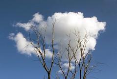 arbre-nuage / cloud-tree (Jacques Lebleu) Tags: cloud sky blue tree arbre bleu ciel nuage white blanc azur azul blu cielo nube ouate