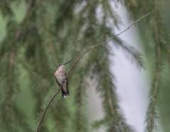 Hanging Out In the Shade (glenda.suebee) Tags: birds spruce trees branch hummingbird wildlife summer 2016 ohio glendaborchelt hummer ruby throated female