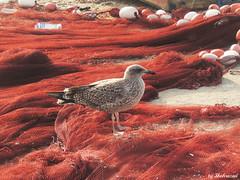 No blue boats EXPLORED! (Shahrazad26) Tags: essaouira marokko morocco maroc meeuw seagull