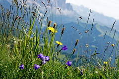 fiori di montagna (Franco Vannini) Tags: dolomiti dolomites odles sassrigais fermeda seceda valgardena valdifunes odle