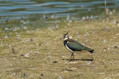 Lapwing (Sean Hinks) Tags: wilstonereservoir tring lapwing nikond7100 sigma120300mm wildlife waders