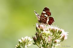 Schmetterling 154 (rgr_944) Tags: schmetterling butterfly papillon tiere insekten macro natur canoneos60dcanoneos70d rgr944 pflanzen blumen