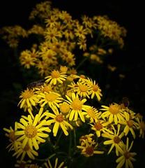 Yellow and low key (leeleeque) Tags: samsung nature fleurs flowers flore florefrance lowkey yellow jaune fleur flower bokeh macro