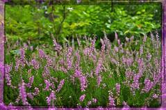 nikon_d90_nikkor_18_105_vr_21.08.16_04 (malemonada) Tags: forest wood green summer outdoor heather latesummer depthoffield
