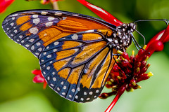 Monarch butterfly (Danaus plexippus) female (Mustafa Kasapoglu) Tags: monarch butterfly d810 macro