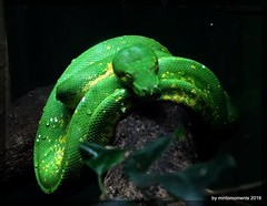 Green Snake head on at New Orleans Zoo, Audubon, 13th May 2016 (Tigeress blue) Tags: greensnake snake reptile green wendyminto animal neworleanszoo