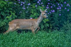 Roe deer (pss_foto) Tags: kerkant grnt bratli fotoklubb kolbu rdyr
