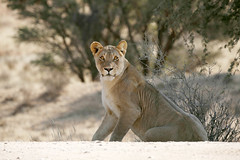 The stare (crafty1tutu (Ann)) Tags: travel holiday southafrica africa kgalagarditransfrontierpark kgalagardi animal lion female lioness free wild inthewild roamingfree canon5dmkiii crafty1tutu anncameron ef100400mmf4556lisiiusm carnivore naturescarousel naturethroughthelens