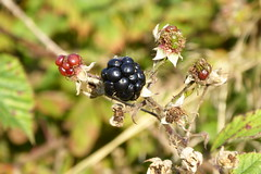 blackberries growth and death (Glesga Geek) Tags: flower wishes plant weed nature wild macro closeup beautiful outdoor grass field blackberry berry scottish scotland fruit