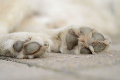DSC_0137 (tweetyfilm73) Tags: paws paw closeup goldenretriever golden retriever mydog pet dog animal hair