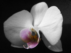 Black & White Colour (Alan FEO2) Tags: white phalaenopsis orchid selectivecolouring flower flora achatphoenix monochrome outdoors panasonic dmc g1 2oef