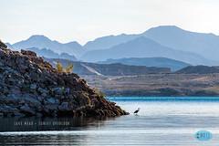 0903 IMG_9305 (JRmanNn) Tags: lakemead sunsetoverlook shoreline greatheron sunrise morning bouldercity lasvegas
