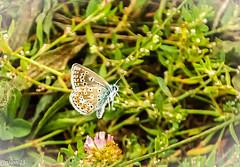 """Papillon """"Argus bleu"""". (Crilion43) Tags: france tamron divers animauxdivers papillon paysage paille insectes herbe canon véreaux centre argusbleu bourdon cher objectif abeille arbre branches chenille foin guêpe nature réflex"""
