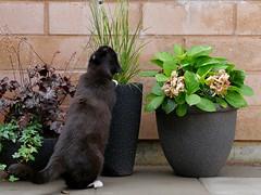 No no, naughty Tussi! That is NOT cat grass... (vanstaffs) Tags: tussitufsituzzttututusse tuffis myprettyliltuxedogirl cutecatkittykitten explore cc100 cc1000 cc2000
