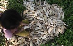 SBC_2015_31Aug_11 (susancorpuz90) Tags: zamboangadelsur cornharvest samal tukuran susancorpuz food foodsecurity