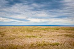 Wheat field, Scotland