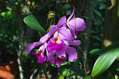 Key West (Florida) Trip 2015 0533Ri 4x6 (edgarandron - Busy!) Tags: florida keys floridakeys keywest keywestgardenclub orchid orchids plants flower flowers