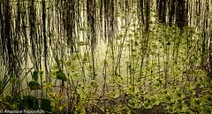Greenness (anastase.papoortzis) Tags: brasil brazil goldenhour landscape dusk lagoon lake natureza paisagem savana savannas water