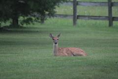 IMG_0139 (thinktank8326) Tags: deer fawn babyanimal babydeer whitetaileddeer